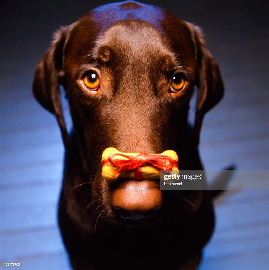 Labrador Retriever with Christmas Dog Biscuit Sitting on Nose : Stock Photo