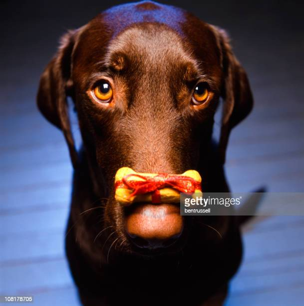 Labrador Retriever with Christmas Dog Biscuit Sitting on Nose