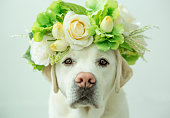 A labrador retriever looking glamorous with a flower crown on his head.