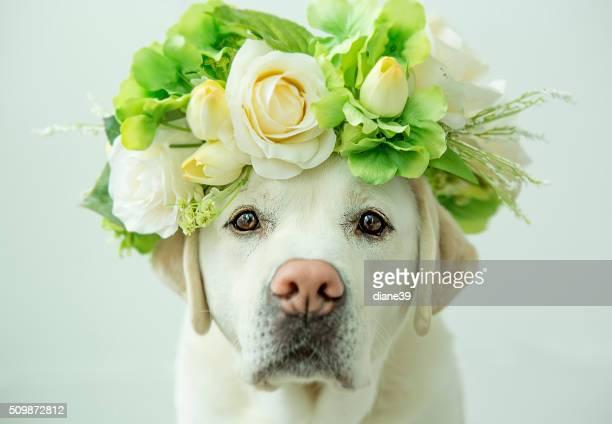 Labrador Apportierhund mit Blume Krone