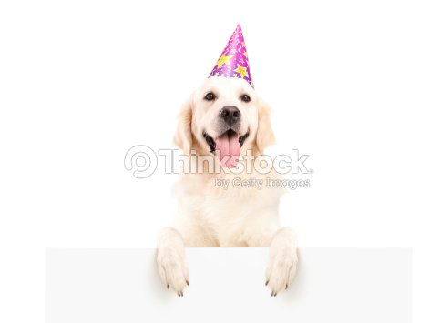 Labrador Retriever With Party Hat Posing On A Panel Stock Photo