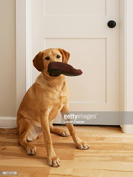 Labrador retriever with slipper in his mouth