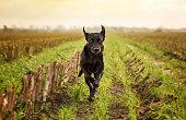 Labrador Retriver Running