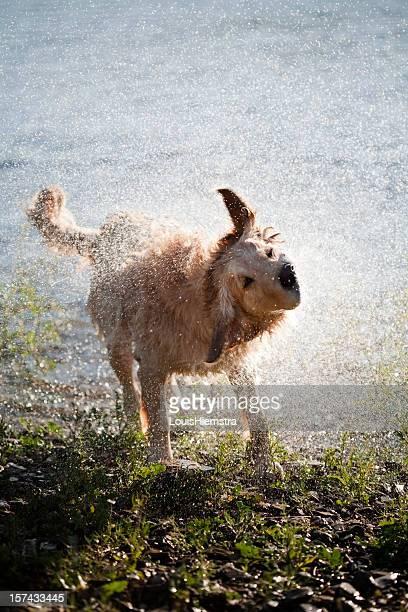 Labrador agitar