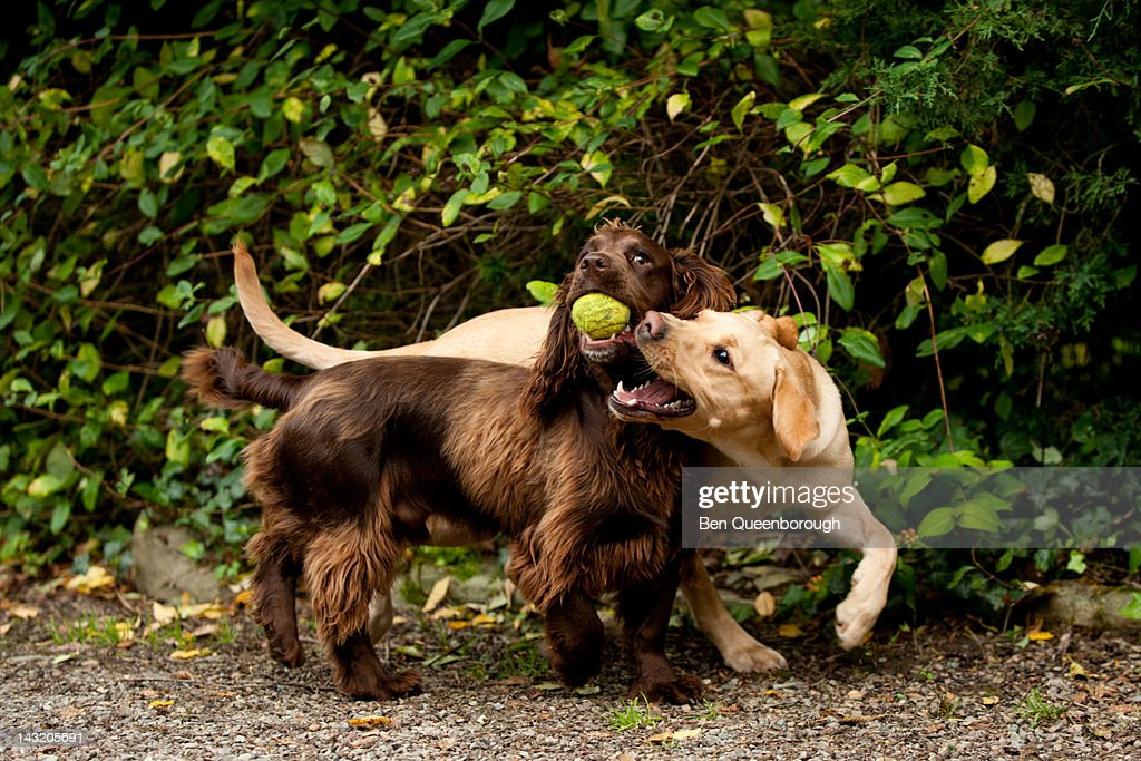 Labrador & Springer Spaniel dog fight for a ball : Stock Photo