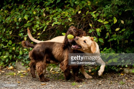 Labrador & Springer Spaniel dog fight for a ball : Foto stock