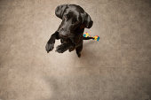 Labrador standing on two feet