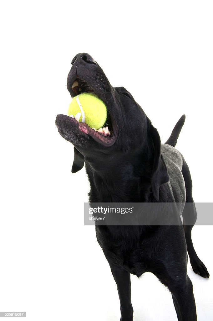 Labrador stood with ball : Stock Photo