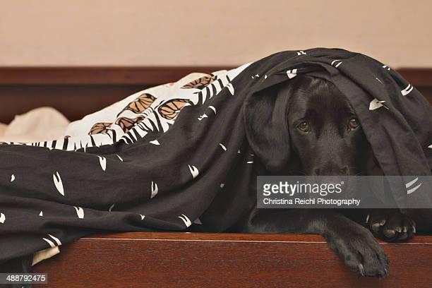 Labrador under Blanket