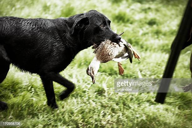 Labrador with duck