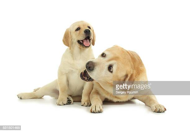 Labrador with the puppy