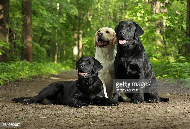 Labradors in the park
