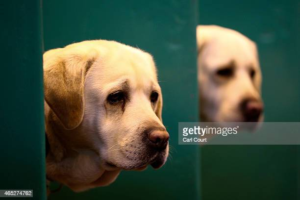 Labradors peer from their boxes on the first day of Crufts dog show at the National Exhibition Centre on March 5 2015 in Birmingham England First...
