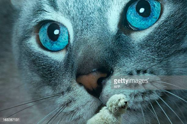 A Labrodoole sits in front of a cat poster during the first day of the Crufts dog show in Birmingham in central England on March 7 2013 The annual...