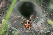 Labyrinth or Funnel-web Spider (Agelena labyrinthica) lurking in its web or retreat.