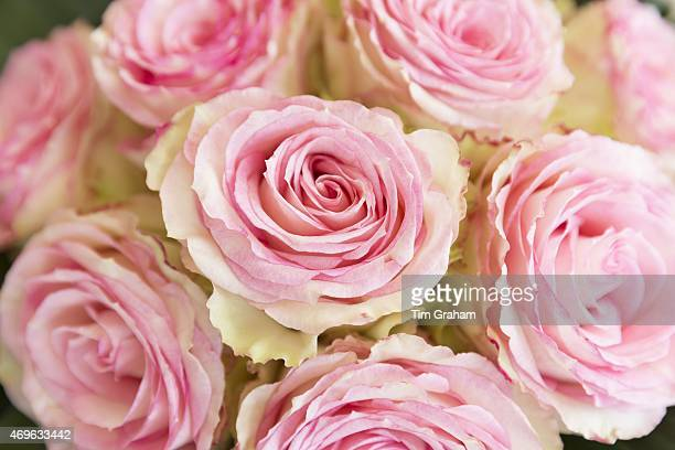 Laceedged attractive two tone blooms of pastel pink roses edged in cream elegant bouquet style floral arrangement display