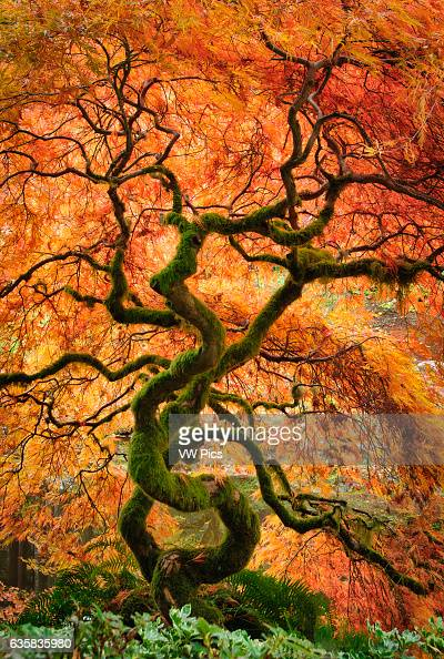Laceleaf maple tree with fall color in the Japanese Garden at Bloedel Reserve Bainbridge Island Washington