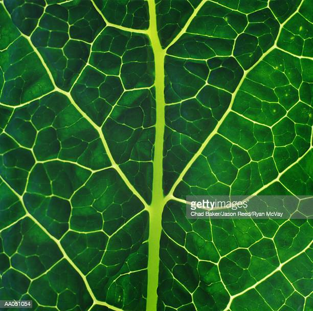 Lacinato kale, detail