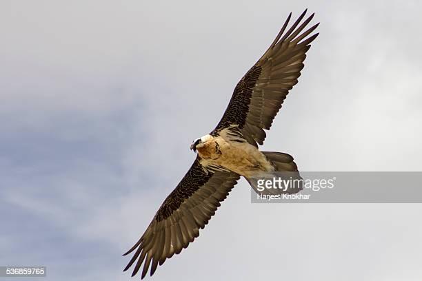 Ladakh, Jammu and Kashmir, India, golden eagle