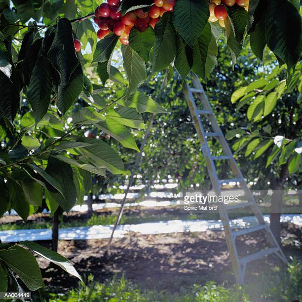Ladder in a Cherry Orchard in Moxee, Washington