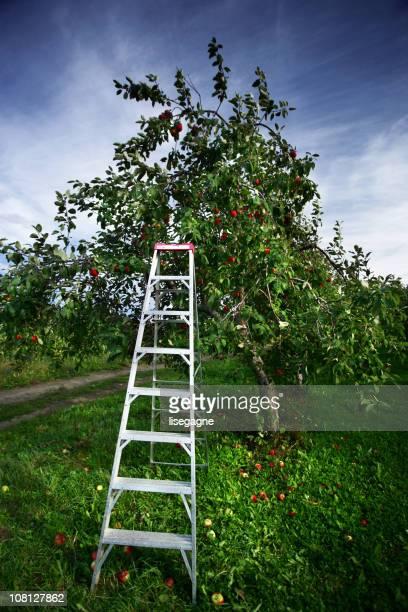 Leiter in der Nähe von Apfelbaum