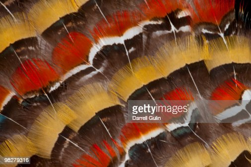 Lady Amerhest's Pheasant feather design : Stock Photo