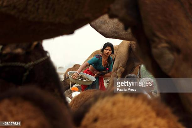 A lady collects Camel droppings used to fire at the Pushkar in the desert Indian state of Rajasthan Pushkar fair is one of the world's largest camel...