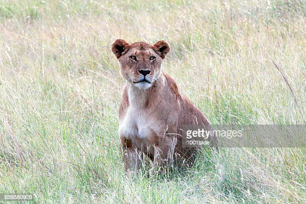 Lady Lioness at wild - portrait