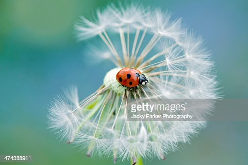 Ladybird on a Dandelion seed head