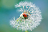 Ladybird on a Dandelion seed head