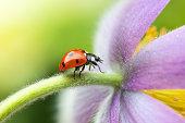 Ladybird on a flower