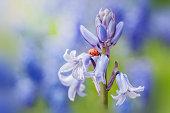 Ladybird on an English Bluebell flower