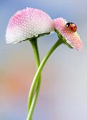 Ladybird on daisies
