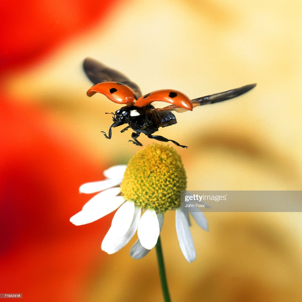 ladybird on flower : Stock Photo