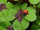 Ladybird on four-leave-clover