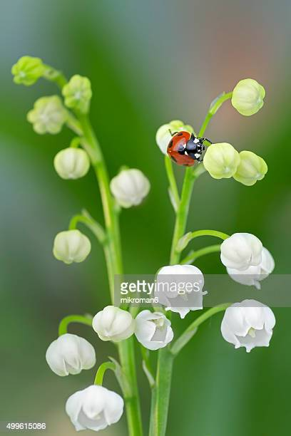 Ladybird on lily of the valley flowers