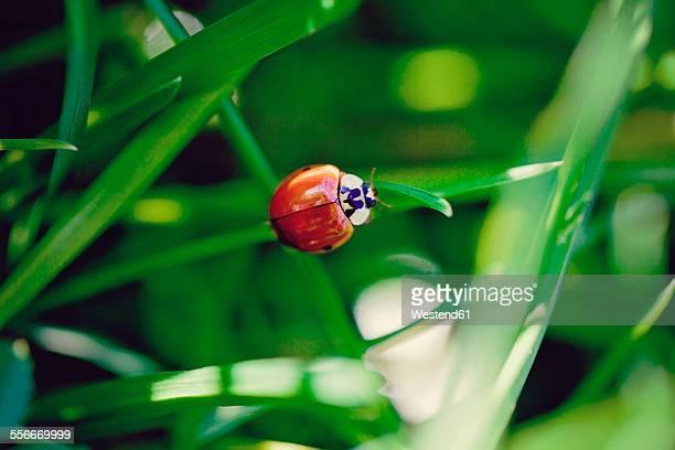 Ladybird perching on blade of grass