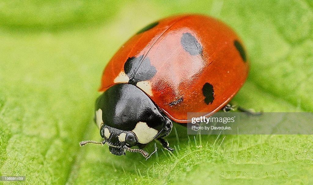Ladybird - (Ladybug) : Stock Photo