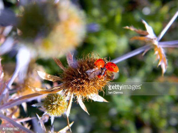 A ladybird prepares to fly