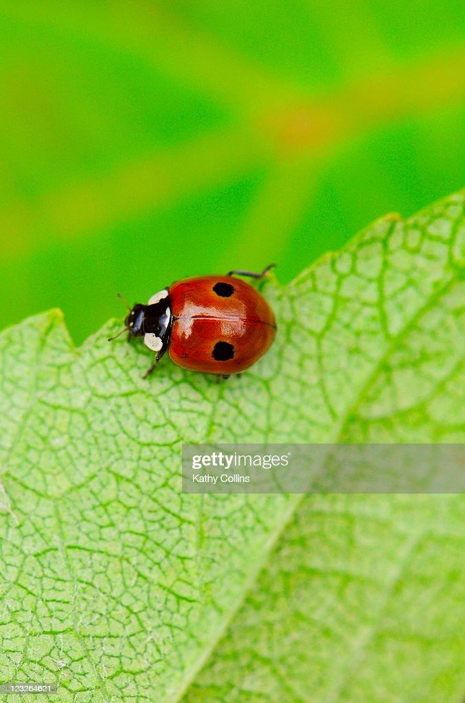 Ladybird walking across a leaf : Stock Photo