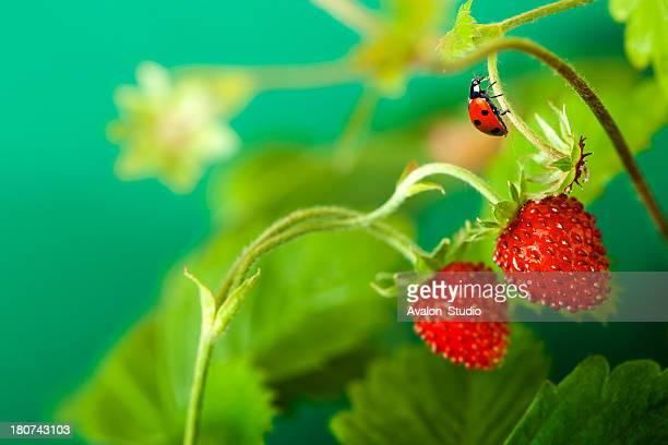 Wild Strawberry und Marienkäfer