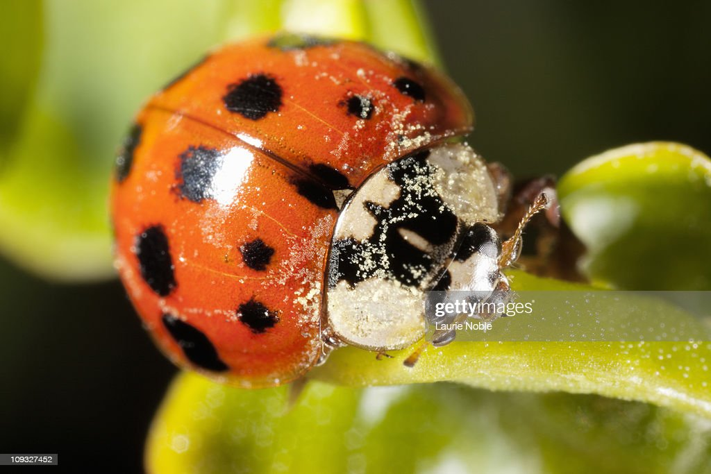 Ladybird with pollen on its head : Stock Photo