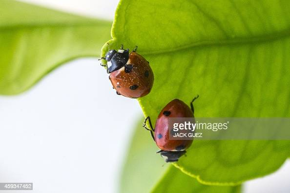 Ladybirds walk on a the leaf of a grapefruit tree in the Israeli coastal city of Netanya north of Tel Aviv on November 21 2014 Ladybirds are part of...