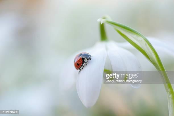 Ladybrid resting on a spring snowdrop flower