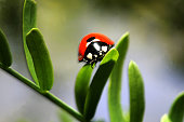 A ladybug crawls on new honey mesquite leaves as recovery from a 2005 wildfire continues at Big Morongo Wildlife Preserve on April 11 2007 in Morongo...