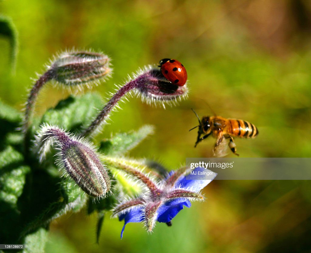 A ladybug in flower and bee coming in for landing : Stock Photo