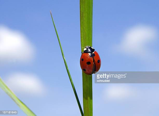 Ladybug in front of a blue sky