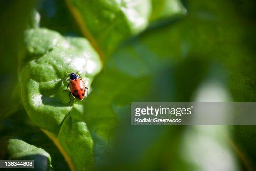 A Ladybug on a Chard Leaf : Stock Photo