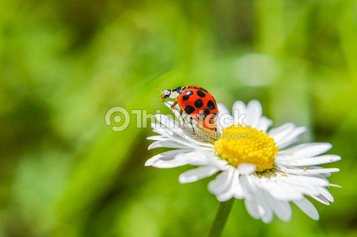 Marienkäfer Auf Einer Gänseblümchen Blume Nahaufnahme Stock Foto