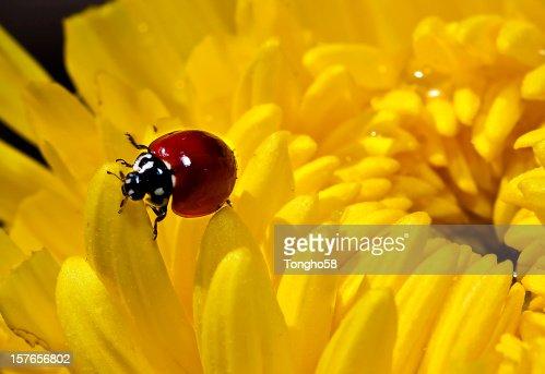 Ladybug On Chrysanthemum Flower : Stock Photo